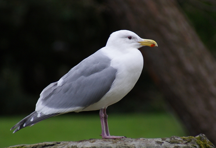 bird seagull picture naming for speech therapy