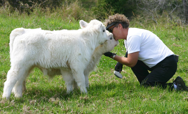 cow kiss picture description for speech therapy aphasia, motor speech, visual neglect